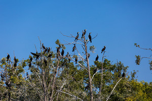 Group of cormorants on a bare tree in Masuria district