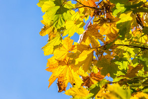 Beautiful autumnal leaves on tree against sky. Autumnal photo useful as background.