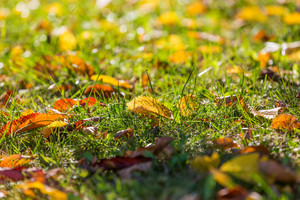 Beautiful autumnal leaves lying on green grass on lawn in bright sunlight. Beautiful close up of nature