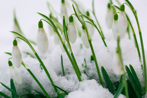 Blooming snowdrops flowers covered by snow i early spring. Flower macro.