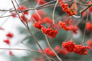 Red rowan berries on withered branch at autumnal cloudy weather. Beautiful nature close up. Useful as background.