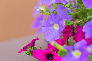Closeup of colorful Petunia (Solanaceae) photographed with shallow depth of field