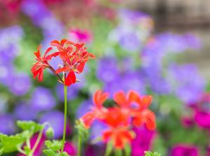 Red pelargonium (geranium) flower blooming in a garden