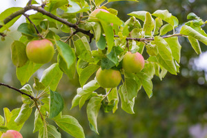 Photo of young green apples