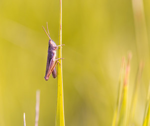 Close up of beautiful grasshopper sitting on grass. Beautiful close up of summer insect