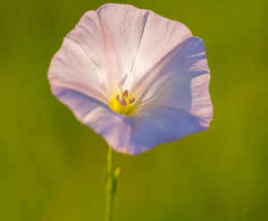 Close up of wild pink bindweed flower. Beautiful wild flower growing on uncultivated fields and meadows