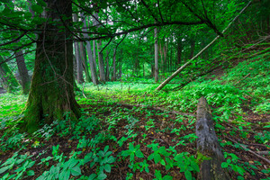 Summertime green forest photographed at sunrise. Place near river Wadag near Olsztyn
