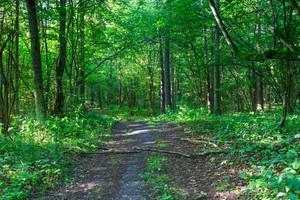Sunlight In Deciduous Forest