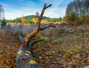 Landscape with fallen old tree trunk and colorful autumnal leaves. Polish autumnal landscape