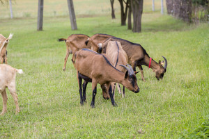 Herd of goats on pasture. Herd of farm animals on pasture.