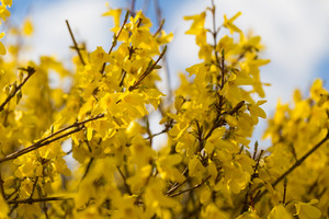 Beautiful blooming forsythia bush. Close up of yellow flowers. Nature closeup