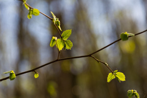 Springtime tree branch with first green leaves. Nature abstract background