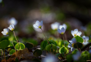 Beautiful small flowers of wood sorrel blooming in early springtime in forests.