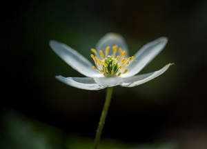 Beautiful white springtime anemones in close up. Early spring flowers.
