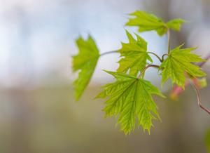 Green leaf of maple on green blured background. Springtime leaf.--