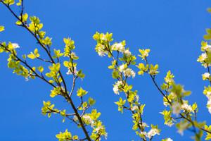 Blossoming apple or pear tree. Beautiful macro shot.