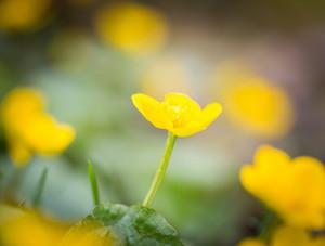 Beautiful blooming wild yellow marigolds flowers. Plants growing on swamps or wetlands.
