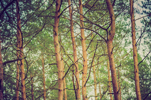 Pine forest with vintage mood effect. Close up of pine trees in summer.