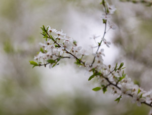 Beautiful blooming white flowers of plum tree. Close up of springtime blooming tree.
