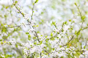 Beautiful blooming cherry tree in springtime. White flowers on tree.