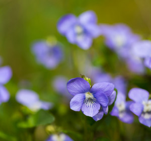 Beautiful wild violets photographed in forest in may. Close up of wildflowers