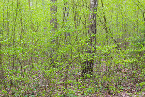Beautiful green springtime forest. Photo of green springtime forest with fresh new leaves.