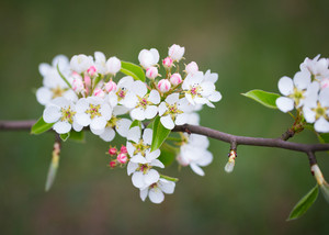 Beautiful blooming apple tree branch. Close up of apple flowers.