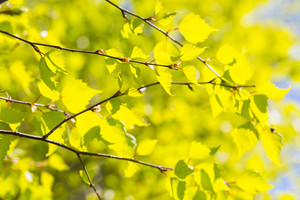 Beautiful background of new fresh birch leaves on branch. Green leaves background.