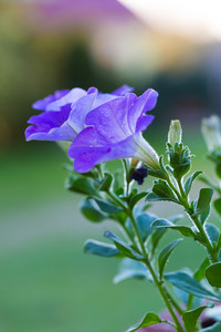 Beautiful blooming blue petunia flower. Close up of petunia in evening light.