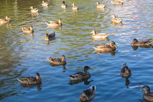 Herd of wild ducks swimming in small pond illuminated by sunset light.