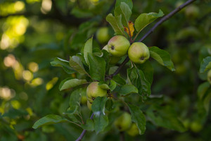 Green unripe apples hanging on apple tree branch. Close up of summer fruits.