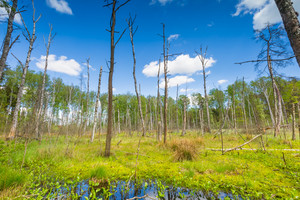 Beautiful landscape with wetlands at springtime. Green wetlands with dead trees trunk photographed in spring. Polish landscape.