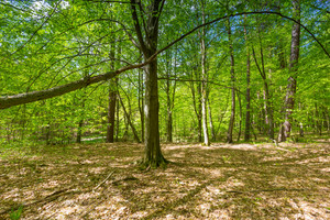 Beautiful green springtime forest landscape. European natural forest with fresh green young leaves. Good weather landscape.