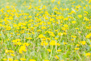 Blooming dandelions flowers in green grass. Yellow springtime flowers.