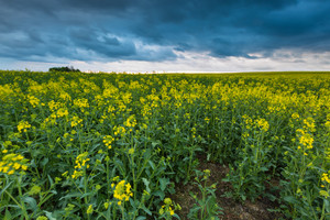 Blooming rapeseed field under cloudy sky. Beautiful agricultural landscape.