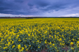 在陰雲密布的天空綻放的油菜田。美麗的農業景觀。