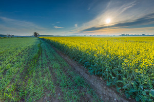Rapeseed field landscape. Calm rural countryside landscape with field of blooming rapeseed.