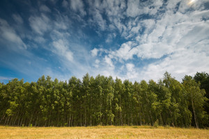 Beautiful green summer birch forest under blue sky with clouds near stubble field.