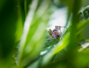 Jumping spider (Salticus scenicus) portrait. Beautiful small spider sitting on grass