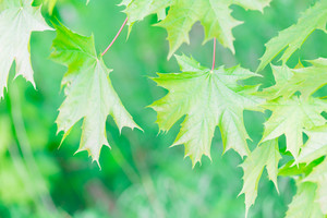 Beautiful green maple leaves background. Close up of green leaves
