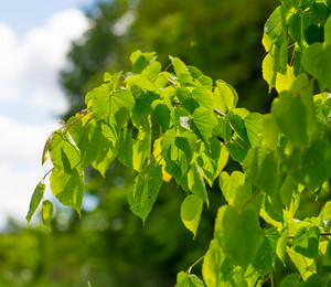 Linden tree leaves. Beautiful close up of fresh young green linden tree leaves.