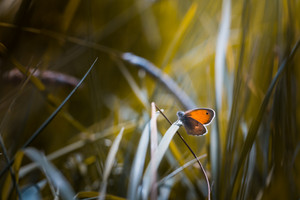 Beautiful butterfly sitting on grass leaf. Macro of butterfly