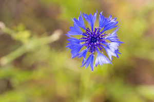 Close up of blue cornflower blooming. Nature background of wild flower.