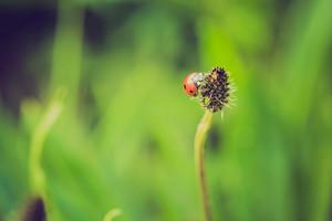 Vintage photo of ladybug on grass. Beautiful close up of red ladybug in nature