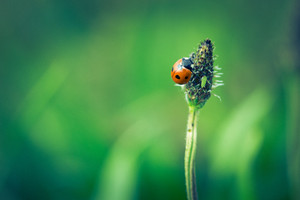 Vintage photo of ladybug on grass. Beautiful close up of red ladybug in nature