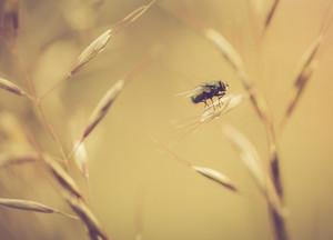 Vintage photo of close up of green fly sitting on grass. Insect macro