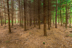 Dark autumnal larch forest. Landscape photographed in dark forest at autumn.