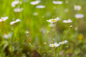 Beautiful camomile flowers growing and blooming in nature. Macro shoot.