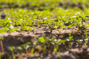 Beautiful close up of young buckwheat sprouts growing on field