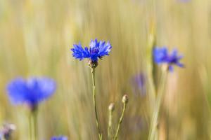 Beautiful cornflowers growing on field of rice. Beautiful blue summer flowers.